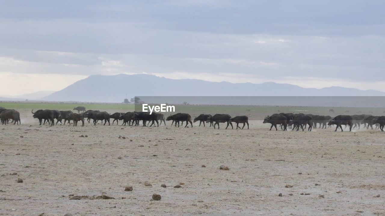 Buffaloes On Field Against Sky