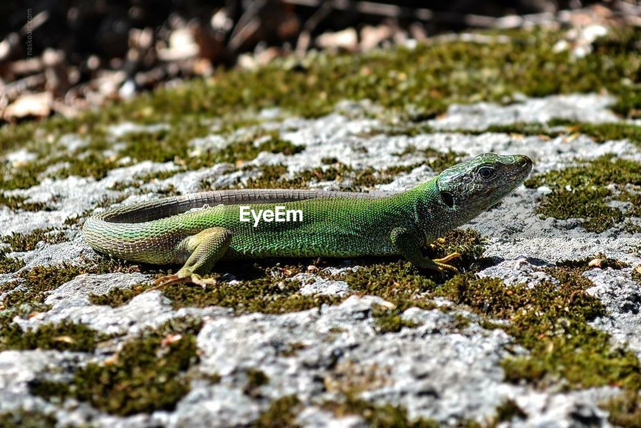animal themes, animal, animals in the wild, reptile, animal wildlife, one animal, vertebrate, solid, rock, rock - object, lizard, no people, selective focus, nature, green color, day, close-up, focus on foreground, side view, looking away, animal scale, iguana