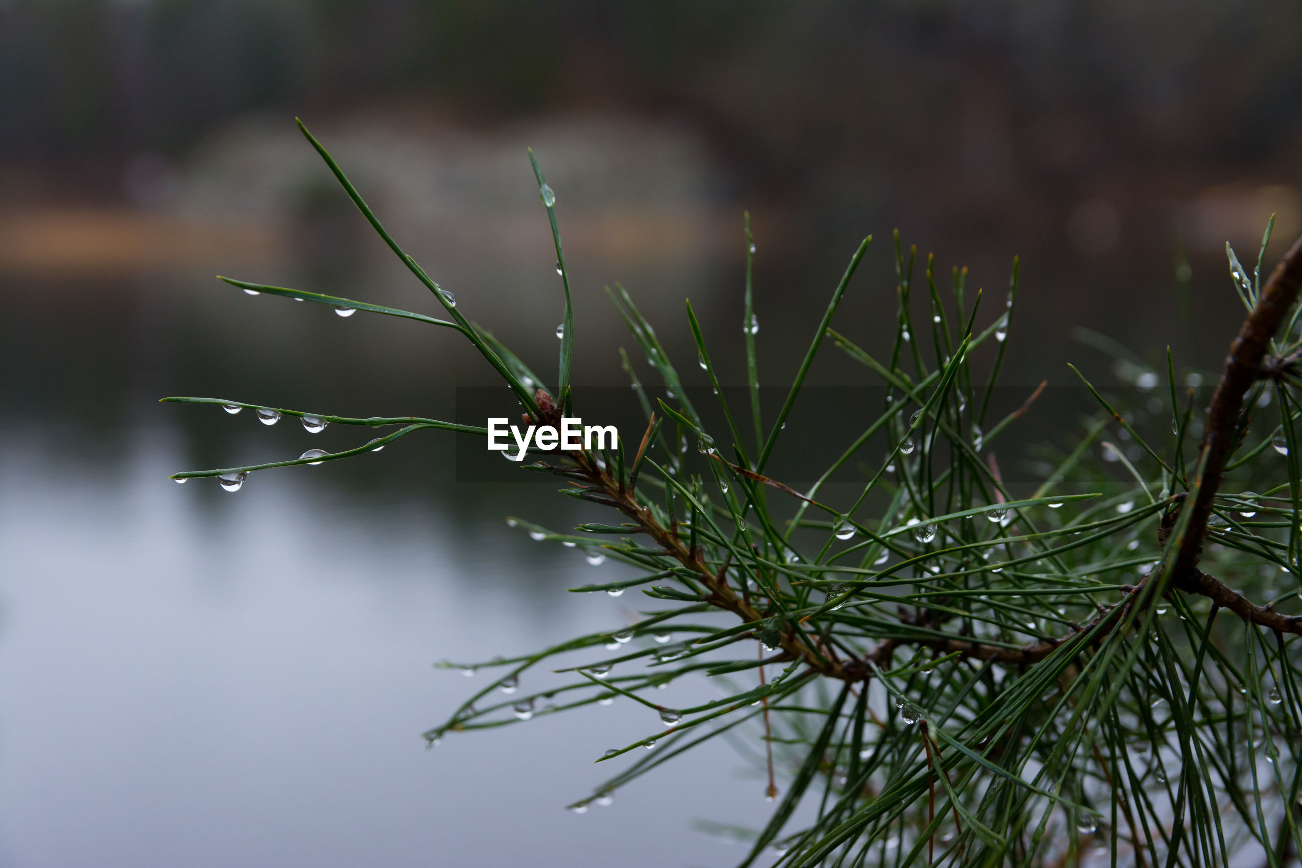plant, water, green color, close-up, growth, focus on foreground, drop, nature, beauty in nature, wet, no people, day, leaf, plant part, selective focus, tranquility, outdoors, cold temperature, rain, needle - plant part, rainy season, raindrop, dew, coniferous tree, blade of grass