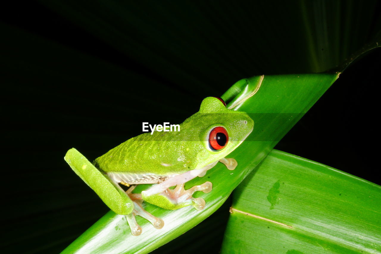 Close-up of green frog on plant at night