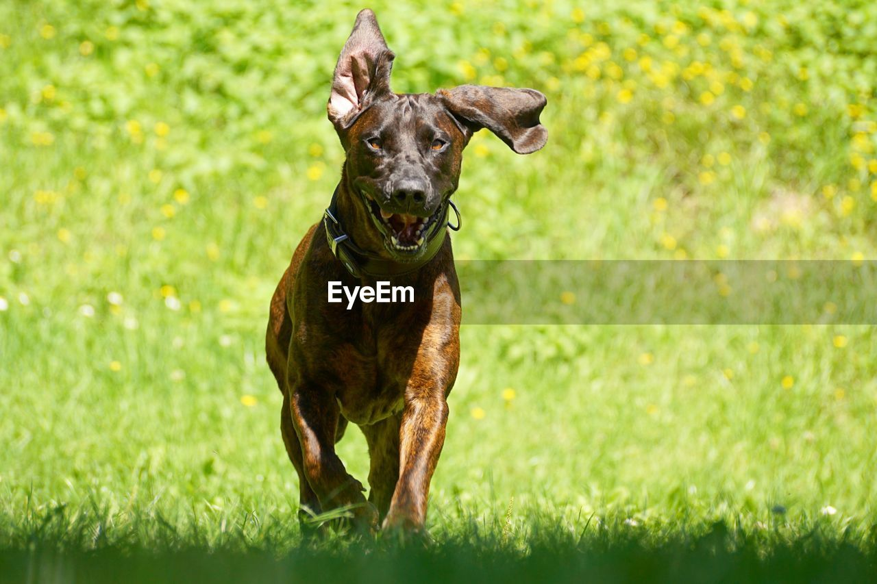 one animal, dog, canine, pets, domestic animals, domestic, animal themes, mammal, grass, animal, plant, green color, running, field, portrait, nature, vertebrate, day, land, looking at camera, no people, mouth open