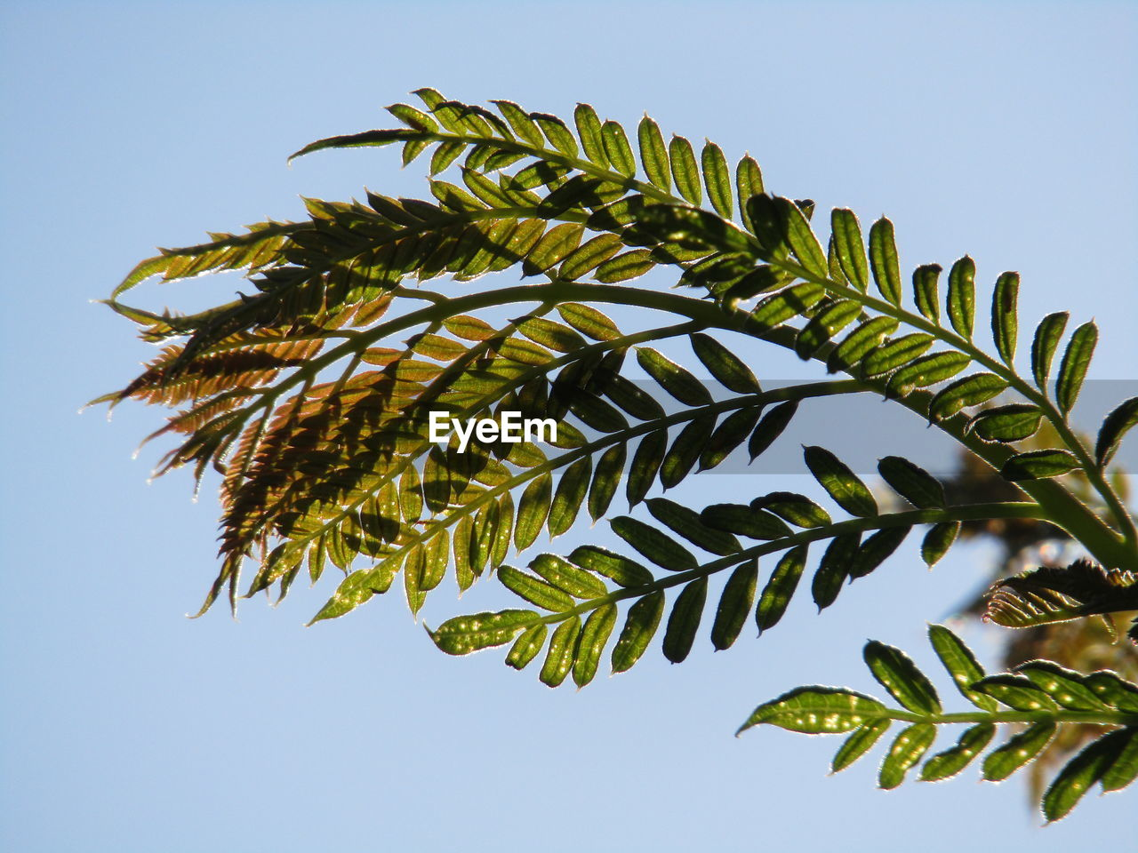 sky, plant, leaf, growth, low angle view, plant part, tree, nature, clear sky, no people, green color, day, beauty in nature, branch, outdoors, sunlight, tranquility, palm tree, tropical climate, palm leaf, leaves