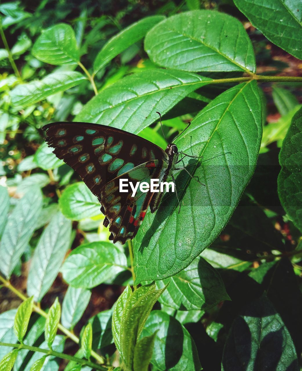 leaf, animal themes, invertebrate, plant part, animal wildlife, insect, animal, one animal, animals in the wild, plant, green color, animal wing, growth, nature, close-up, day, no people, beauty in nature, butterfly - insect, focus on foreground, outdoors, butterfly