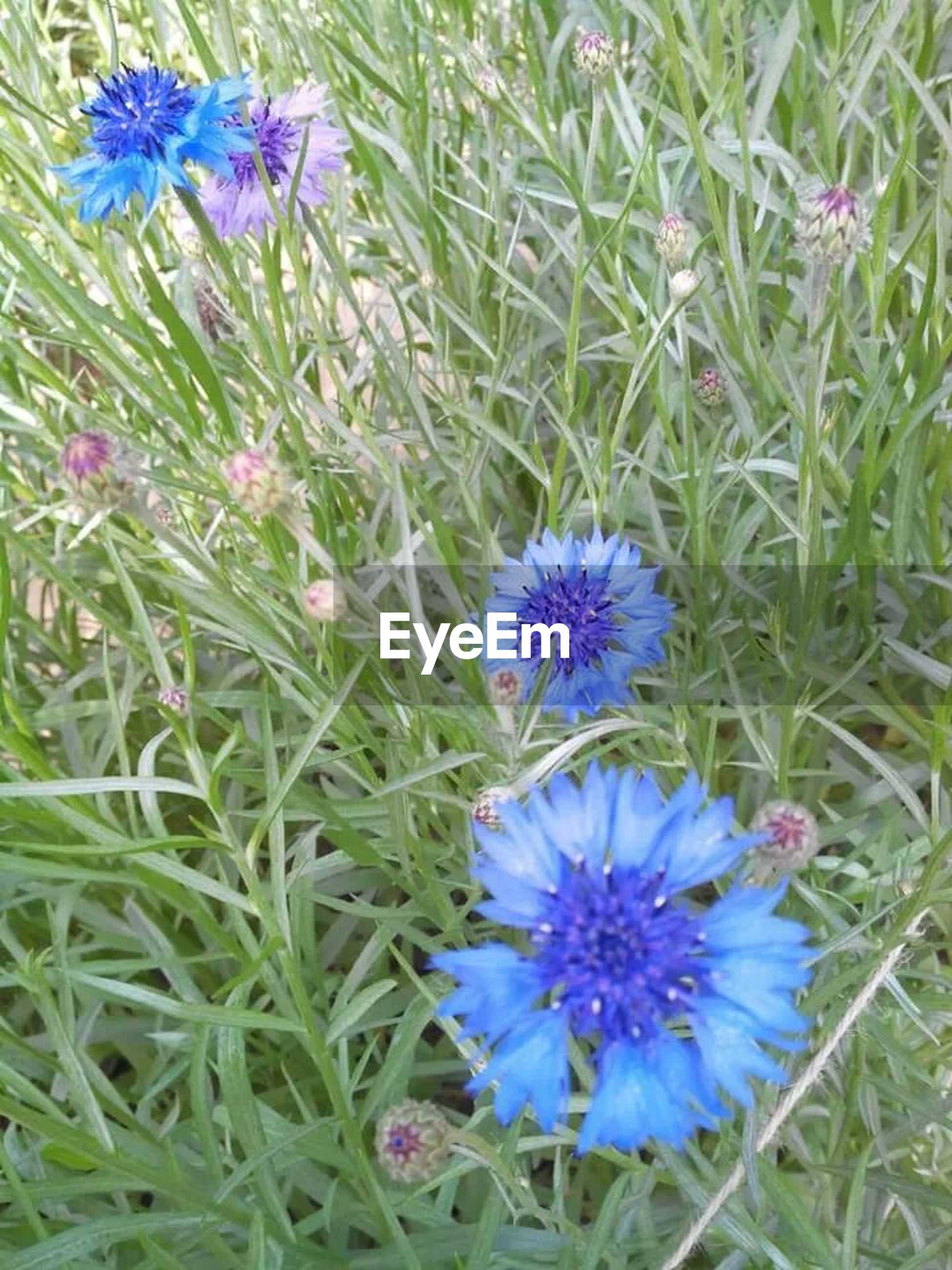 flower, purple, freshness, growth, fragility, beauty in nature, plant, petal, blooming, nature, flower head, field, green color, high angle view, grass, leaf, in bloom, blue, day, outdoors