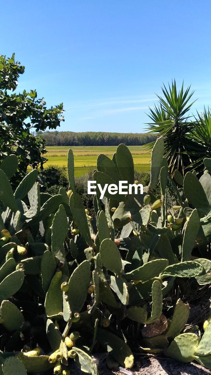 growth, nature, plant, green color, field, cactus, beauty in nature, no people, sunlight, outdoors, agriculture, tranquility, day, freshness, clear sky, sky, prickly pear cactus
