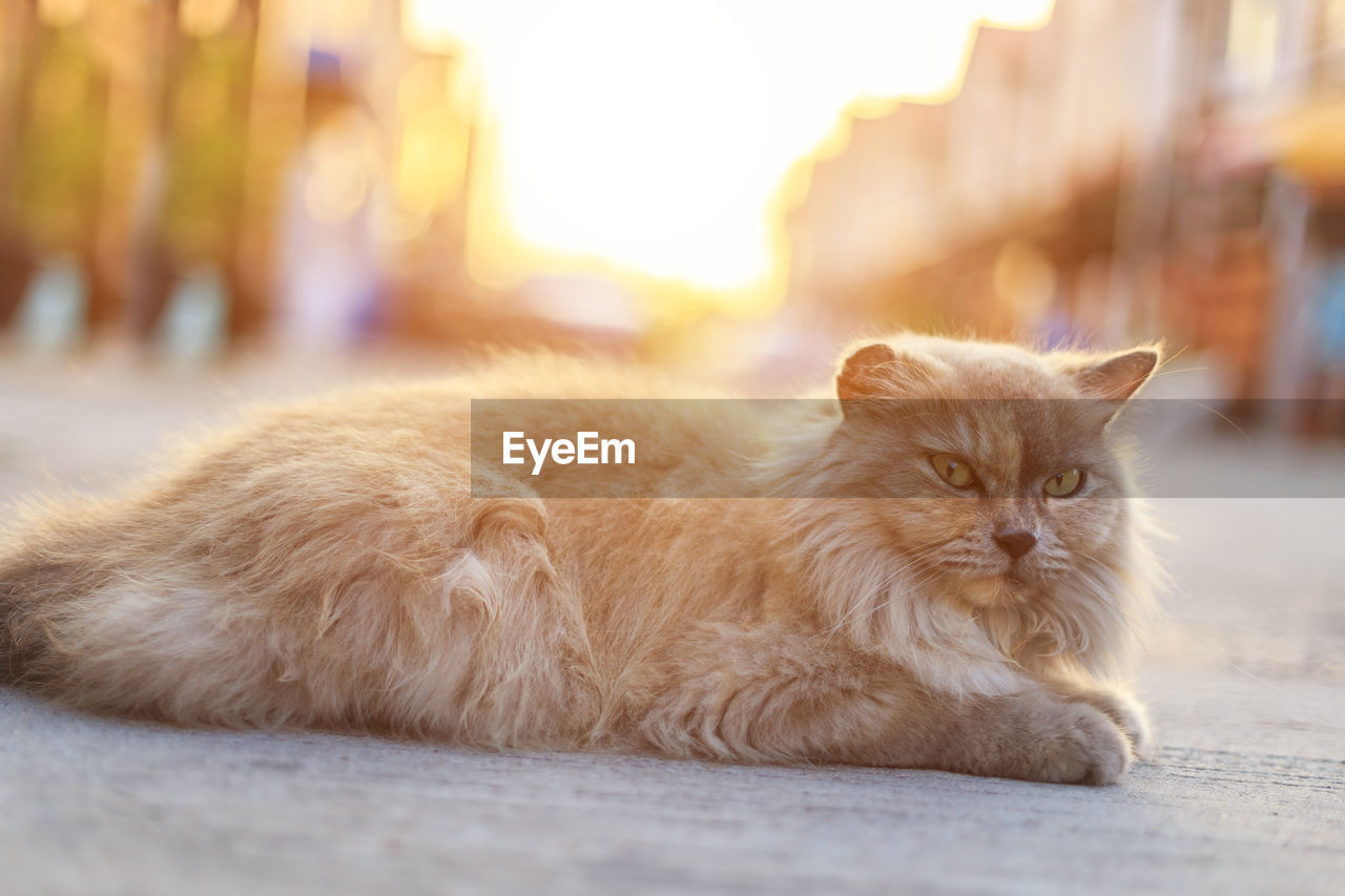 mammal, domestic, pets, animal themes, domestic animals, animal, cat, feline, one animal, domestic cat, vertebrate, relaxation, focus on foreground, no people, portrait, lying down, selective focus, close-up, resting, looking at camera, whisker, persian cat