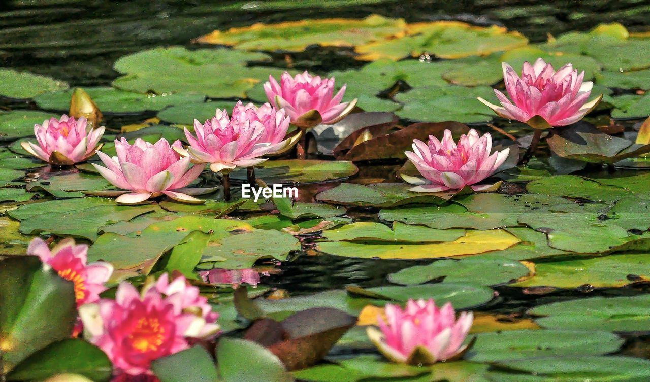 Water Lilies Amidst Leaves In Pond