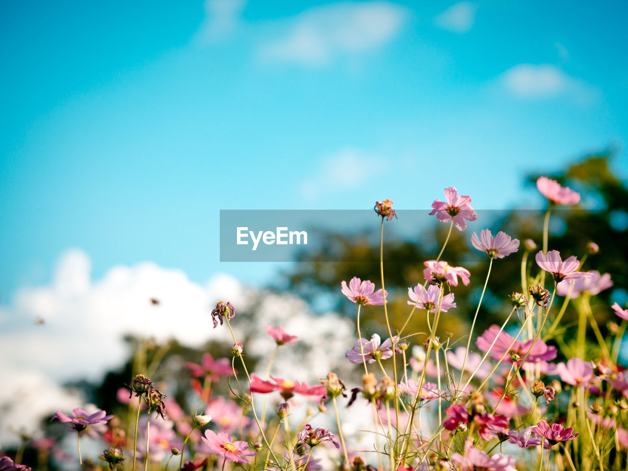 Close-Up Of Cosmos Flowers Blooming Against Sky