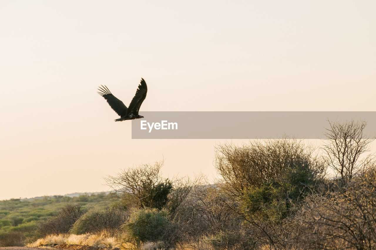 sky, animals in the wild, animal, flying, animal wildlife, vertebrate, bird, animal themes, plant, one animal, tree, nature, spread wings, no people, mid-air, beauty in nature, clear sky, scenics - nature, outdoors, sunset
