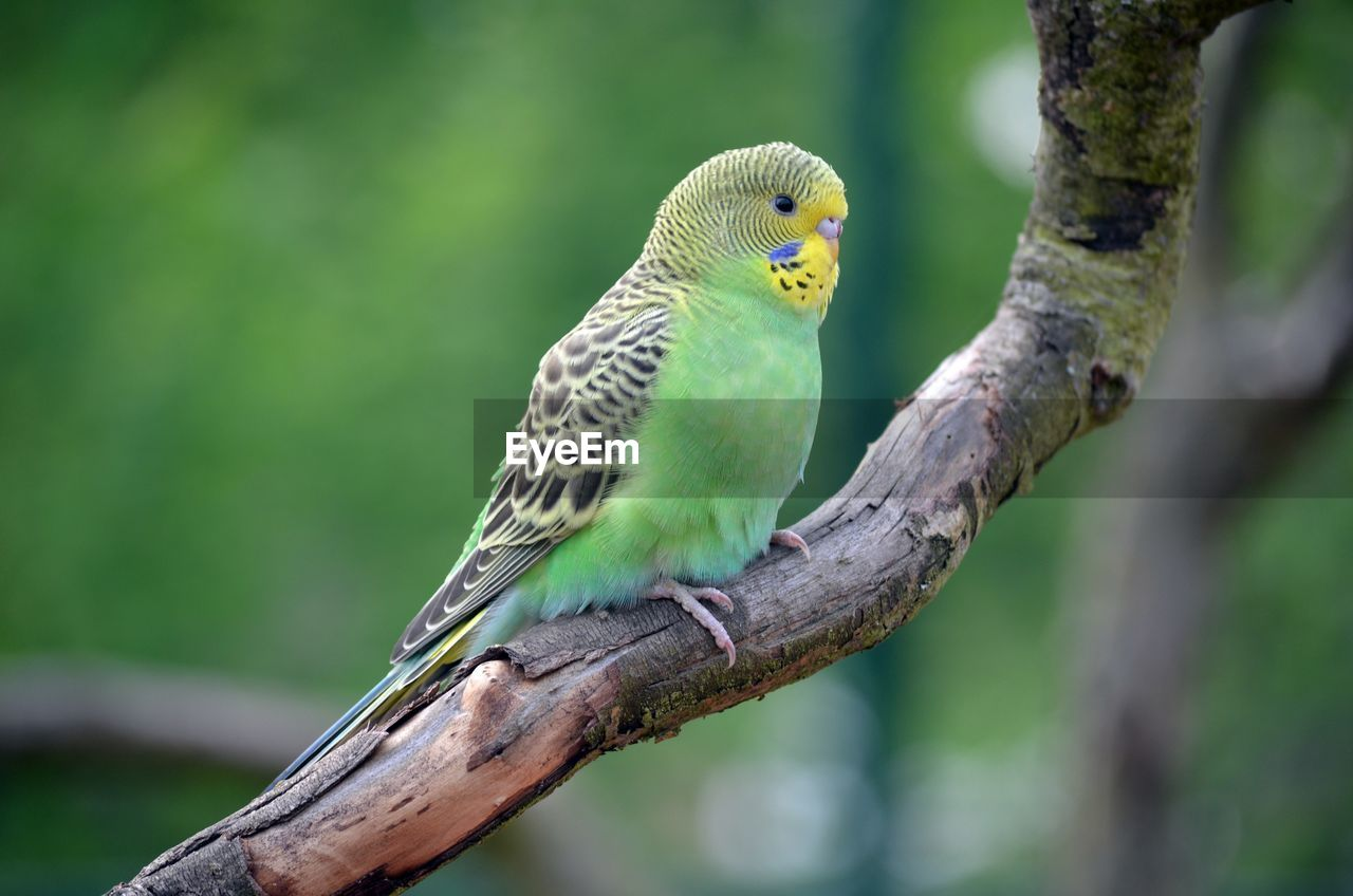 animal themes, animal wildlife, animal, vertebrate, animals in the wild, bird, one animal, tree, perching, focus on foreground, parrot, branch, plant, parakeet, nature, no people, day, green color, close-up, outdoors