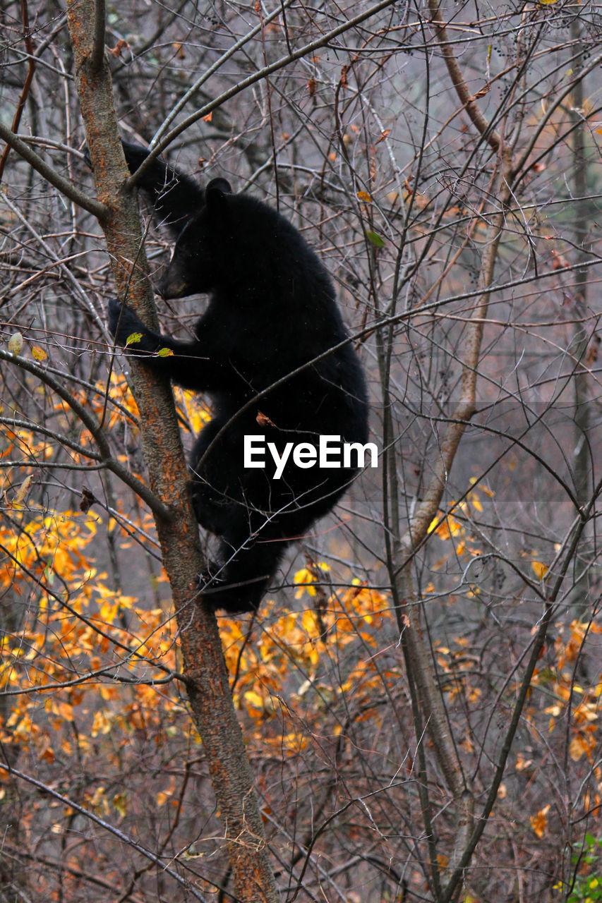 Black bear climbing on bare tree