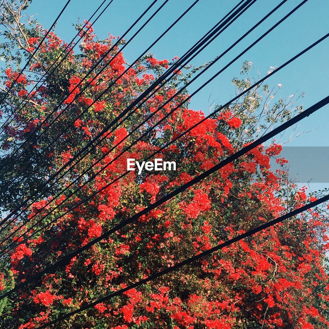LOW ANGLE VIEW OF RED FLOWERS BLOOMING ON TREE