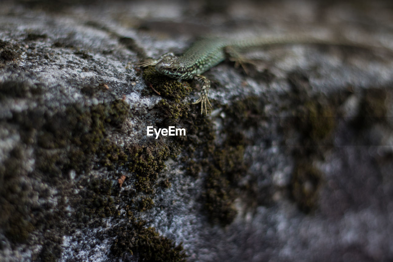 animals in the wild, animal, animal wildlife, selective focus, one animal, animal themes, rock, no people, rock - object, solid, reptile, close-up, lizard, nature, day, textured, outdoors, insect, vertebrate, invertebrate