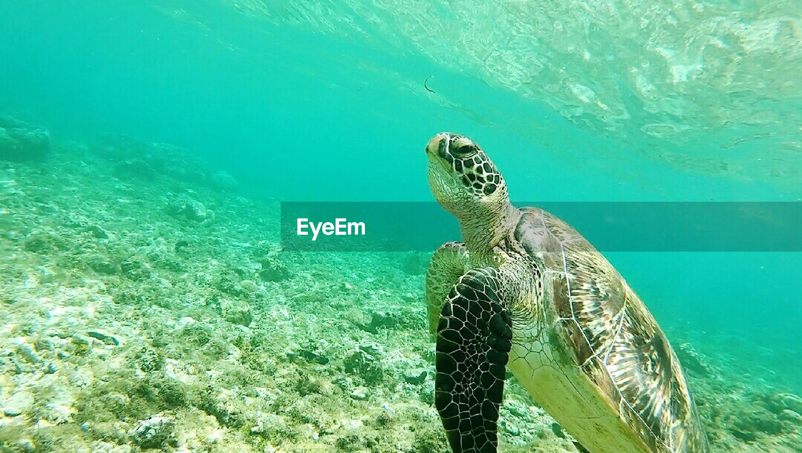 turtle, reptile, sea, sea turtle, one animal, animal wildlife, animals in the wild, water, undersea, sea life, animal themes, nature, underwater, swimming, day, tortoise, endangered species, tortoise shell, outdoors, no people, beauty in nature, mammal
