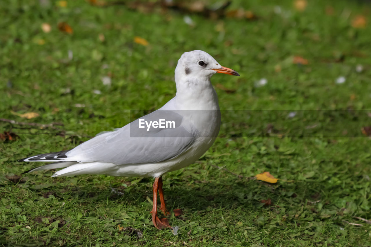 bird, animal themes, vertebrate, animals in the wild, animal, animal wildlife, one animal, grass, green color, land, field, plant, no people, perching, focus on foreground, nature, day, full length, beak, close-up, seagull