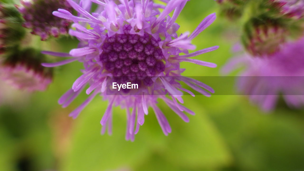 flower, fragility, growth, beauty in nature, petal, nature, purple, freshness, flower head, plant, selective focus, close-up, day, no people, outdoors, blooming, eastern purple coneflower