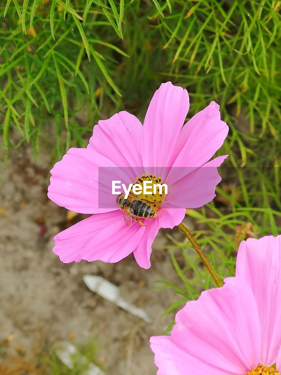 flowering plant, flower, petal, plant, beauty in nature, fragility, freshness, vulnerability, flower head, growth, pink color, invertebrate, one animal, inflorescence, animals in the wild, insect, close-up, animal themes, animal, animal wildlife, pollen, pollination, no people, purple