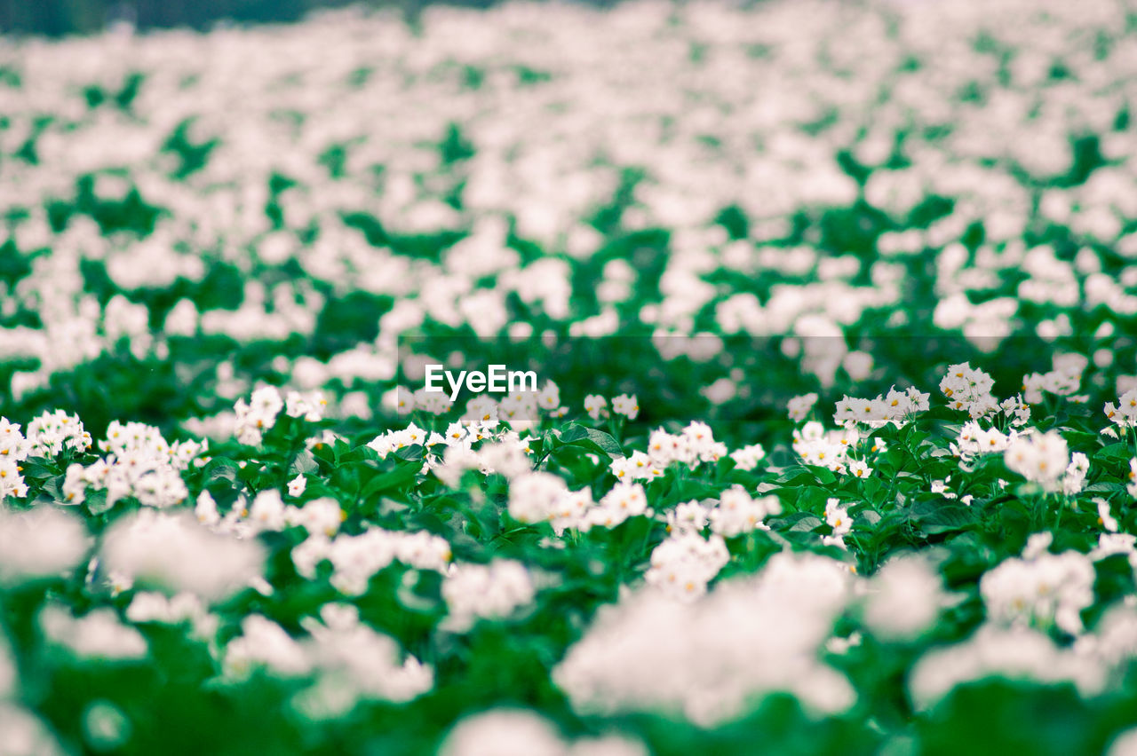 selective focus, flower, nature, beauty in nature, no people, plant, day, growth, fragility, outdoors, freshness, close-up