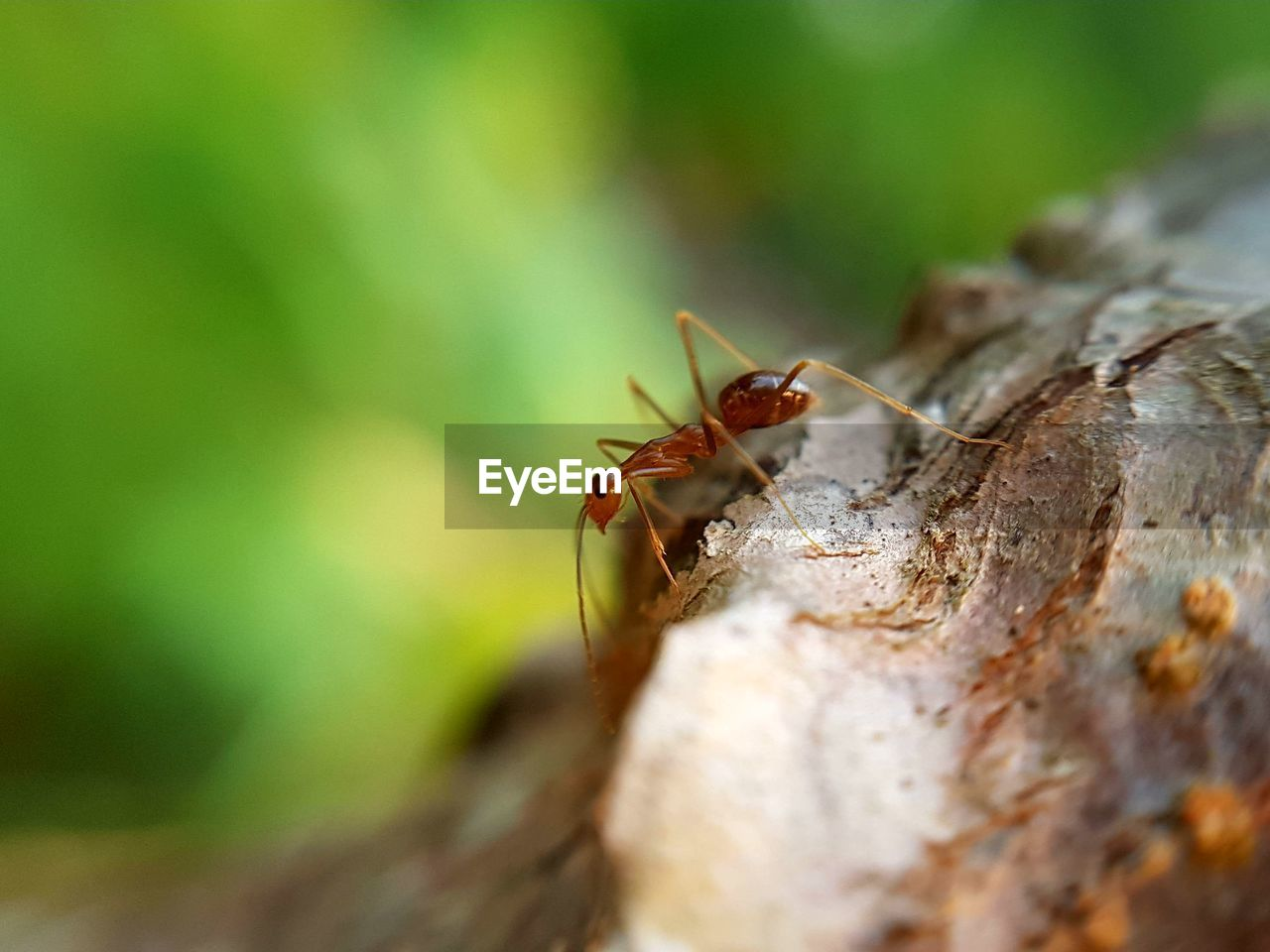 invertebrate, insect, animals in the wild, animal wildlife, animal themes, selective focus, close-up, animal, one animal, day, ant, nature, tree trunk, tree, trunk, no people, plant, outdoors, focus on foreground, wood - material