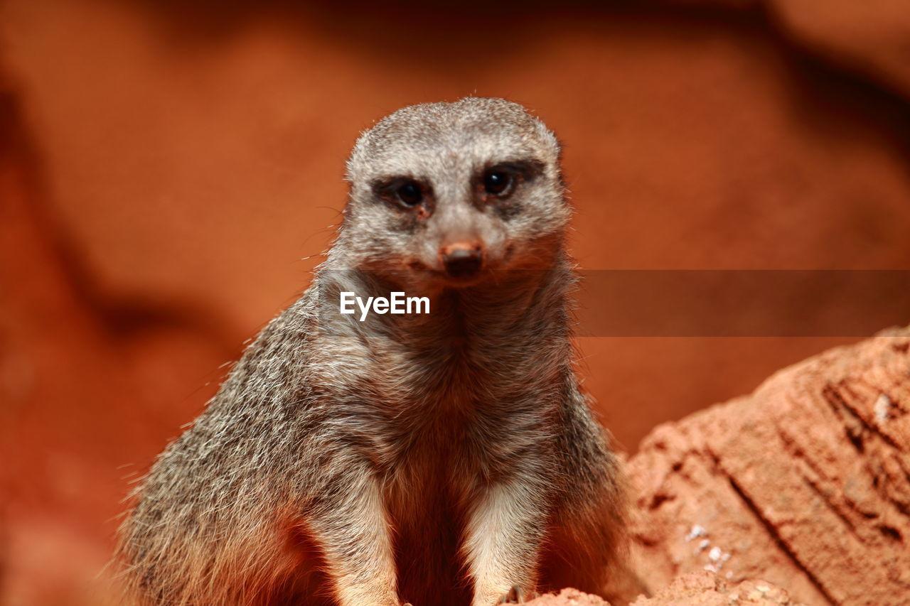 Close-Up Of Meerkat Sitting On Rock At Desert