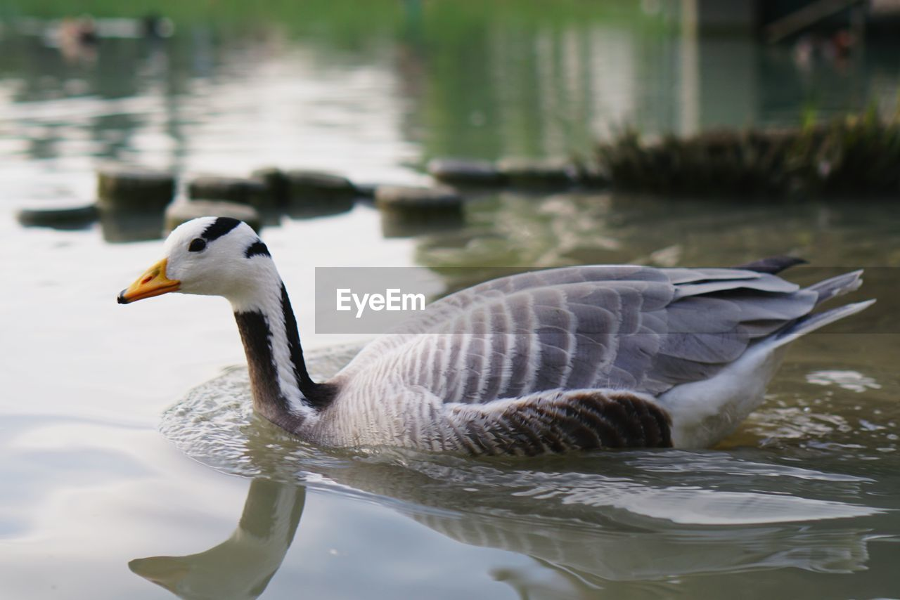 animal themes, animal wildlife, animal, animals in the wild, bird, vertebrate, water, lake, swimming, one animal, water bird, waterfront, nature, no people, goose, day, reflection, side view, focus on foreground, floating on water, cygnet, animal neck
