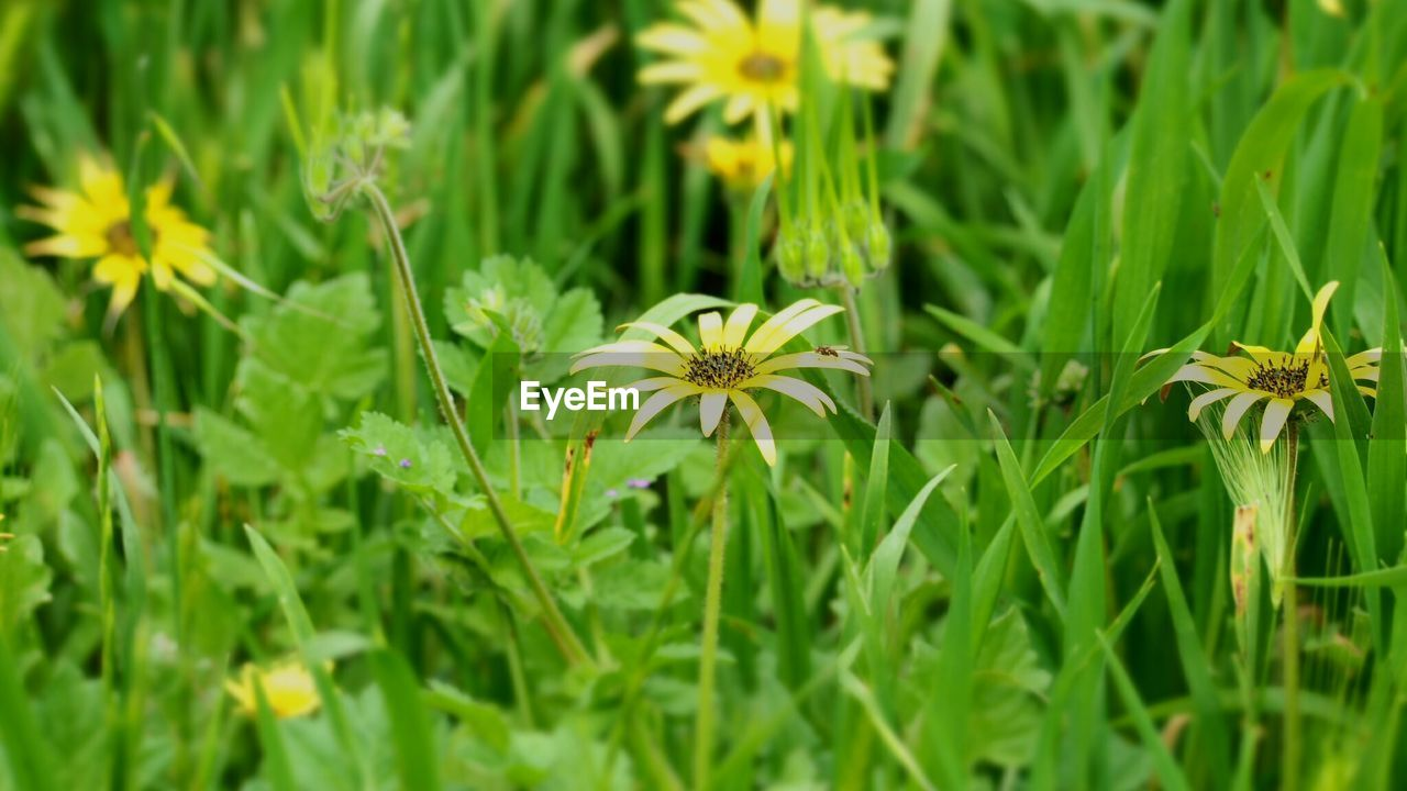 plant, flowering plant, flower, growth, beauty in nature, freshness, green color, vulnerability, fragility, flower head, inflorescence, nature, petal, field, close-up, land, no people, selective focus, day, grass, outdoors, pollen, blade of grass