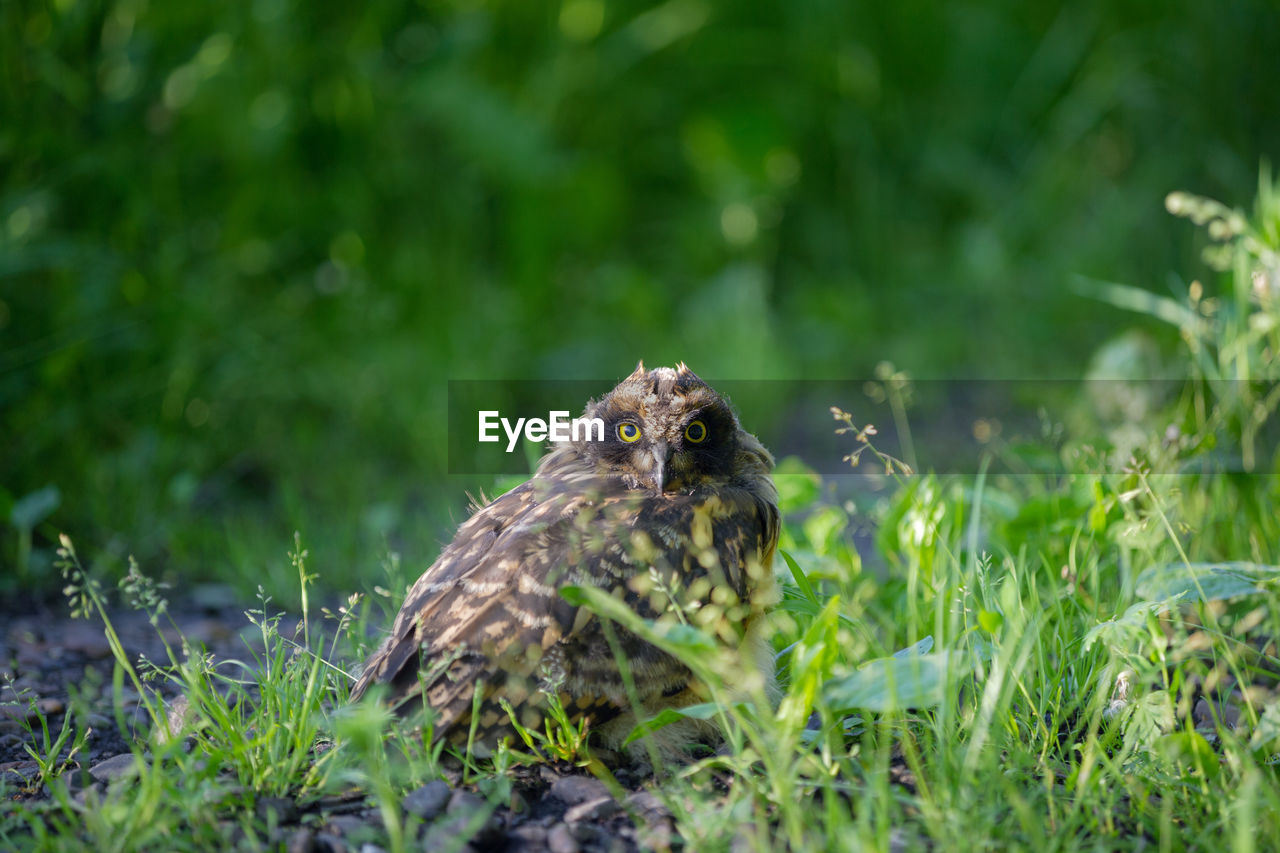 animal, animal themes, bird, animal wildlife, animals in the wild, one animal, plant, vertebrate, selective focus, bird of prey, grass, nature, green color, day, land, field, growth, no people, perching, young bird