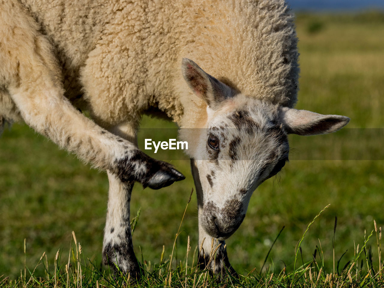 mammal, animal, animal themes, grass, one animal, field, domestic animals, land, plant, livestock, no people, grazing, nature, vertebrate, focus on foreground, domestic, day, animal body part, agriculture, animal wildlife, herbivorous, outdoors, animal head