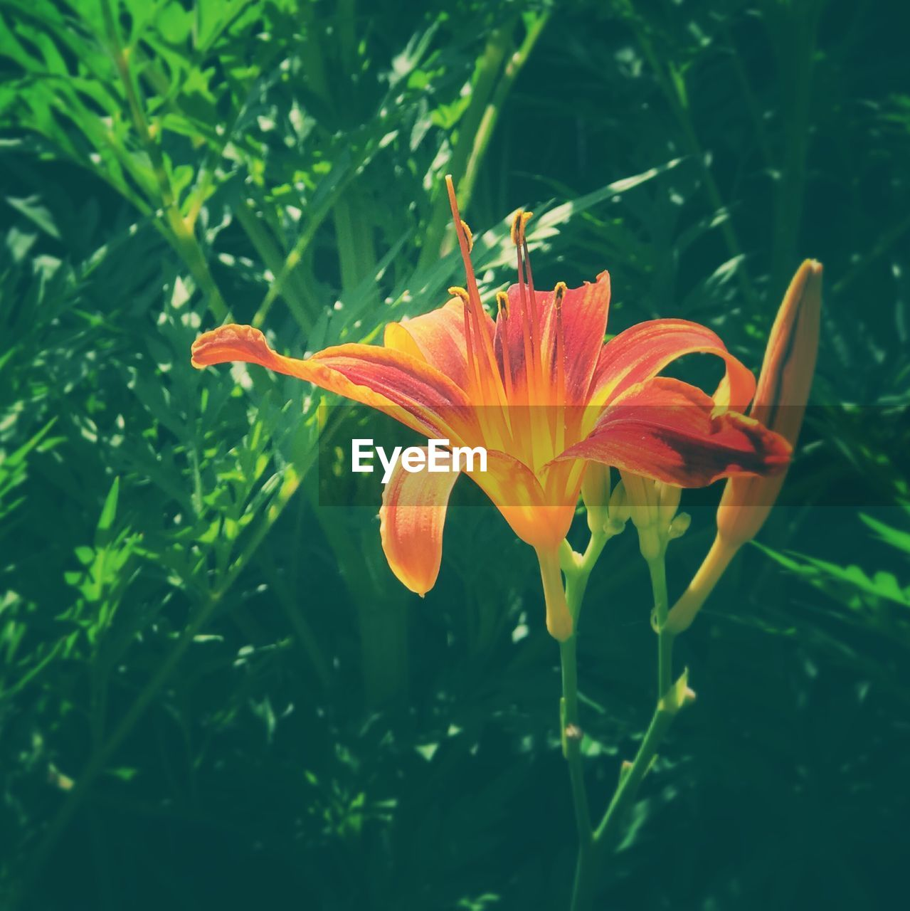 flower, petal, growth, freshness, beauty in nature, fragility, nature, flower head, blooming, orange color, plant, day, green color, leaf, outdoors, no people, close-up, day lily