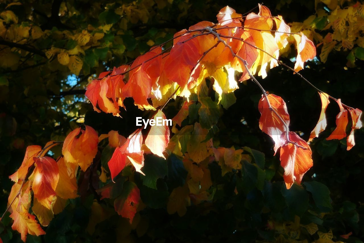 Low angle view of autumn leaves on twig