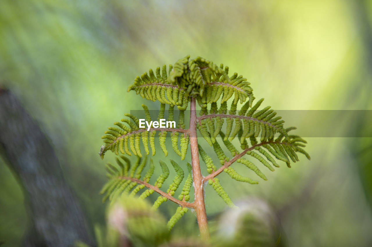 growth, plant, green color, beauty in nature, close-up, day, no people, nature, tranquility, focus on foreground, selective focus, leaf, tree, plant part, outdoors, branch, fern, fragility, vulnerability, green, coniferous tree