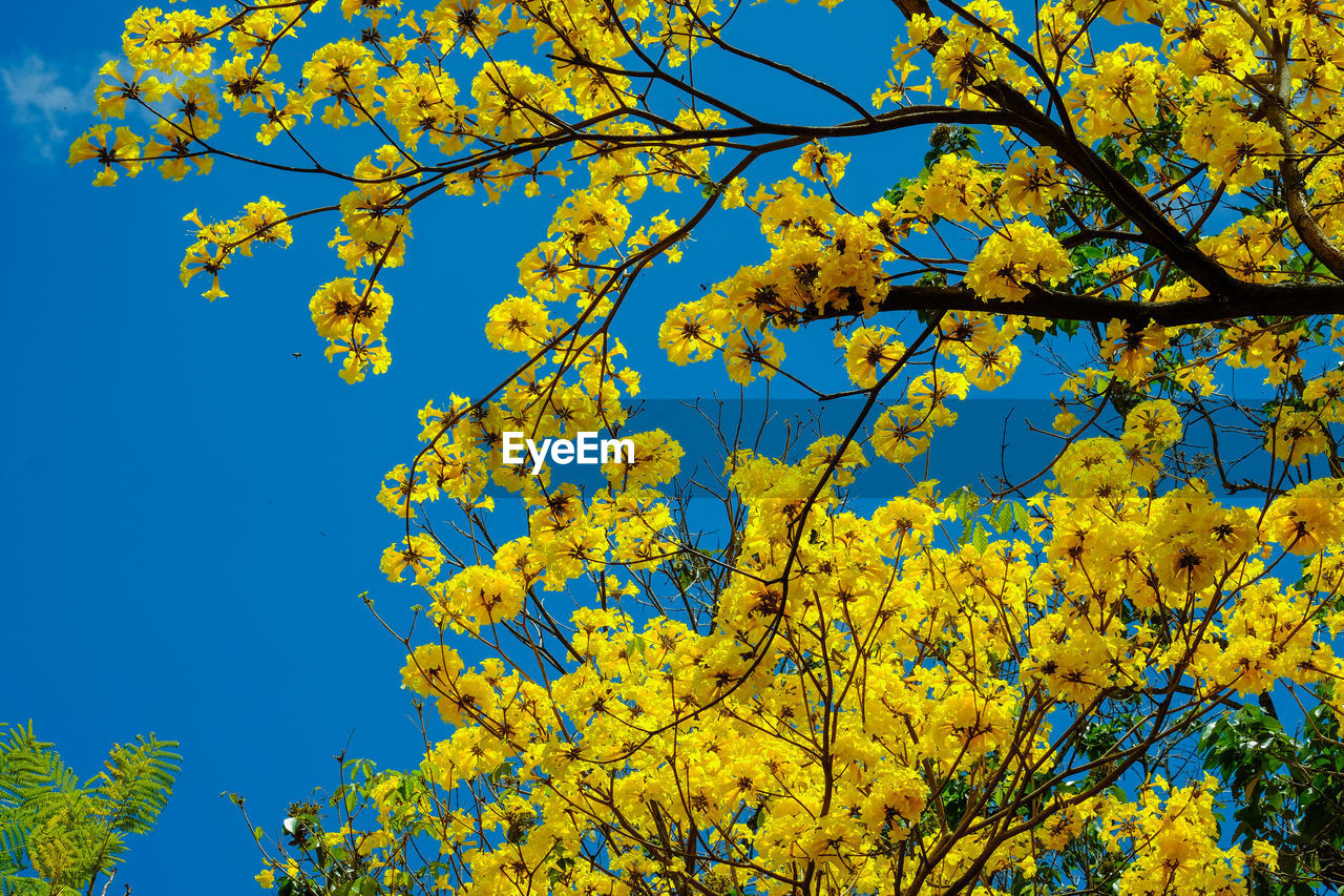 LOW ANGLE VIEW OF YELLOW FLOWERING TREE