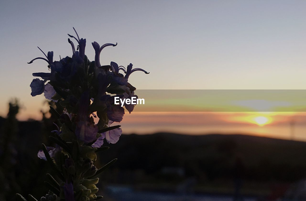 flower, nature, sunset, beauty in nature, fragility, no people, focus on foreground, plant, outdoors, petal, growth, close-up, freshness, flower head, sky, day, clear sky, animal themes