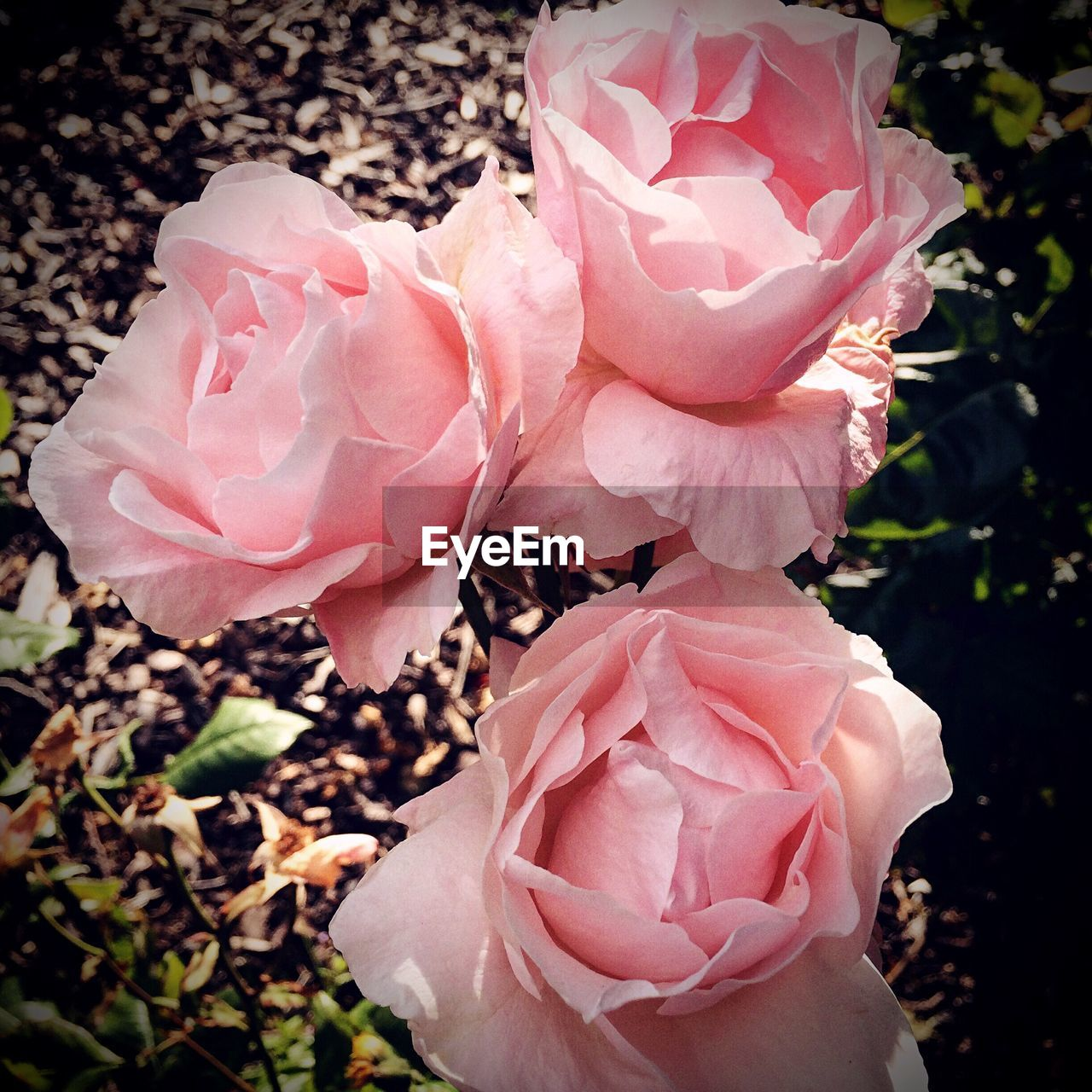 flower, petal, nature, beauty in nature, growth, flower head, plant, blooming, fragility, pink color, pink, no people, spring, outdoors, peony, close-up, freshness, day