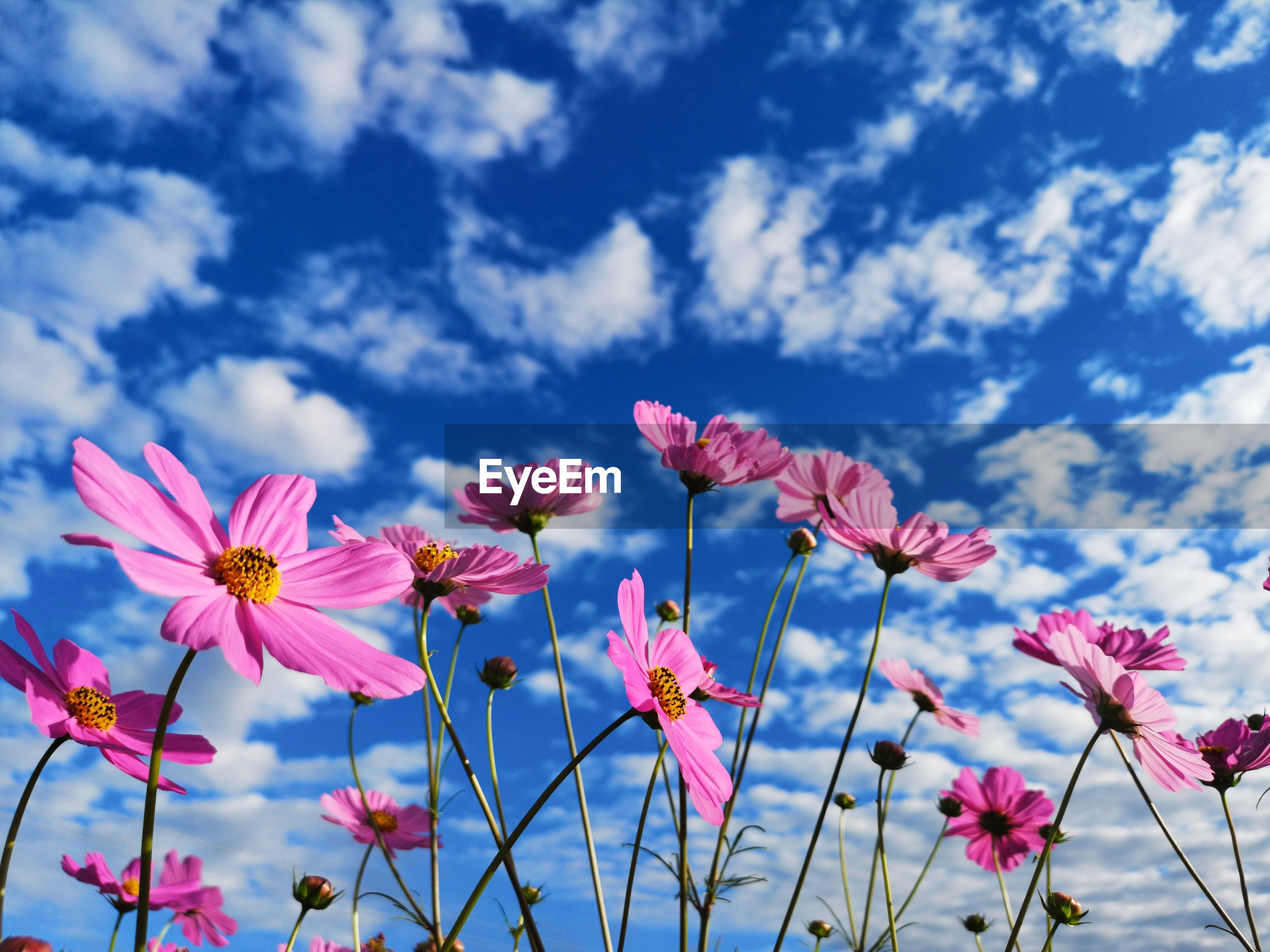 Close-up of pink flowering plants against cloudy sky