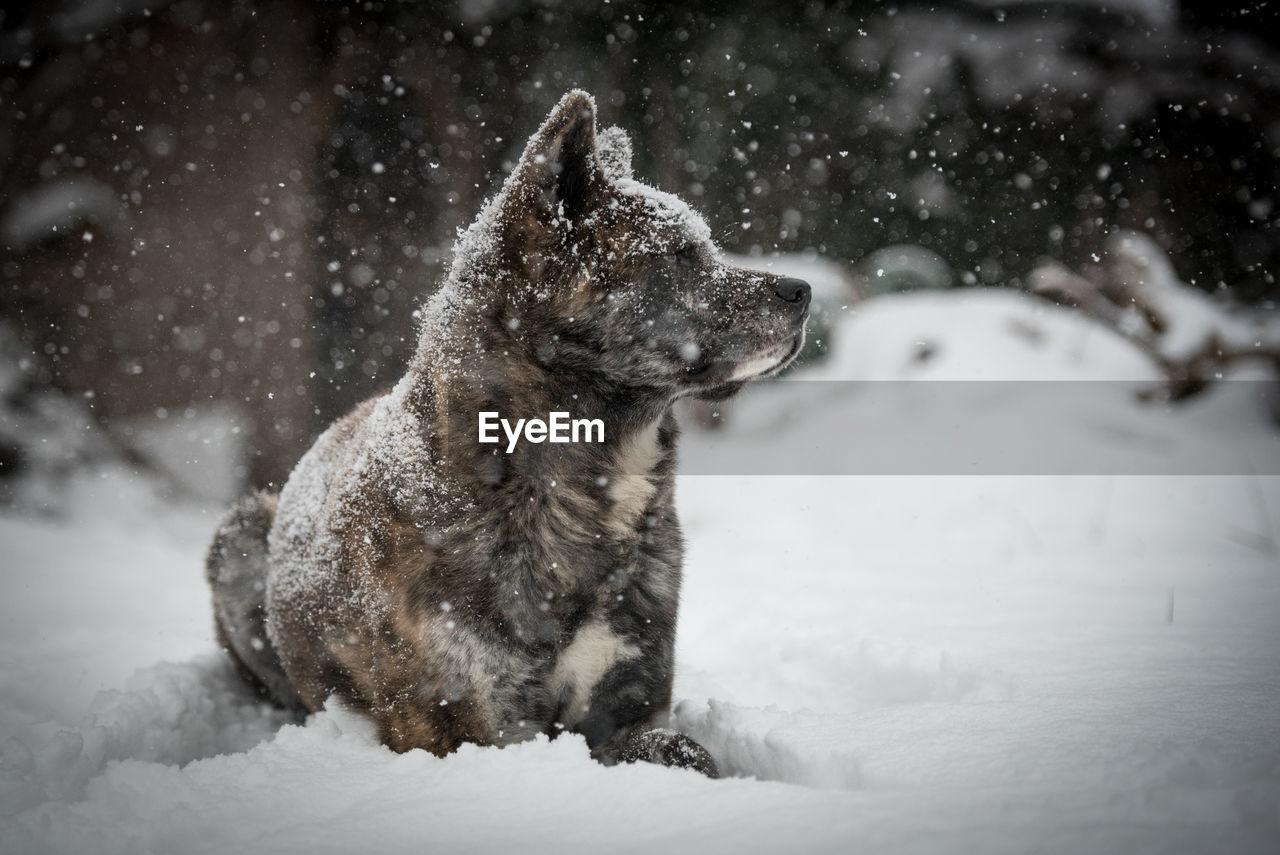 Close-Up Of Akita Dog In Snow