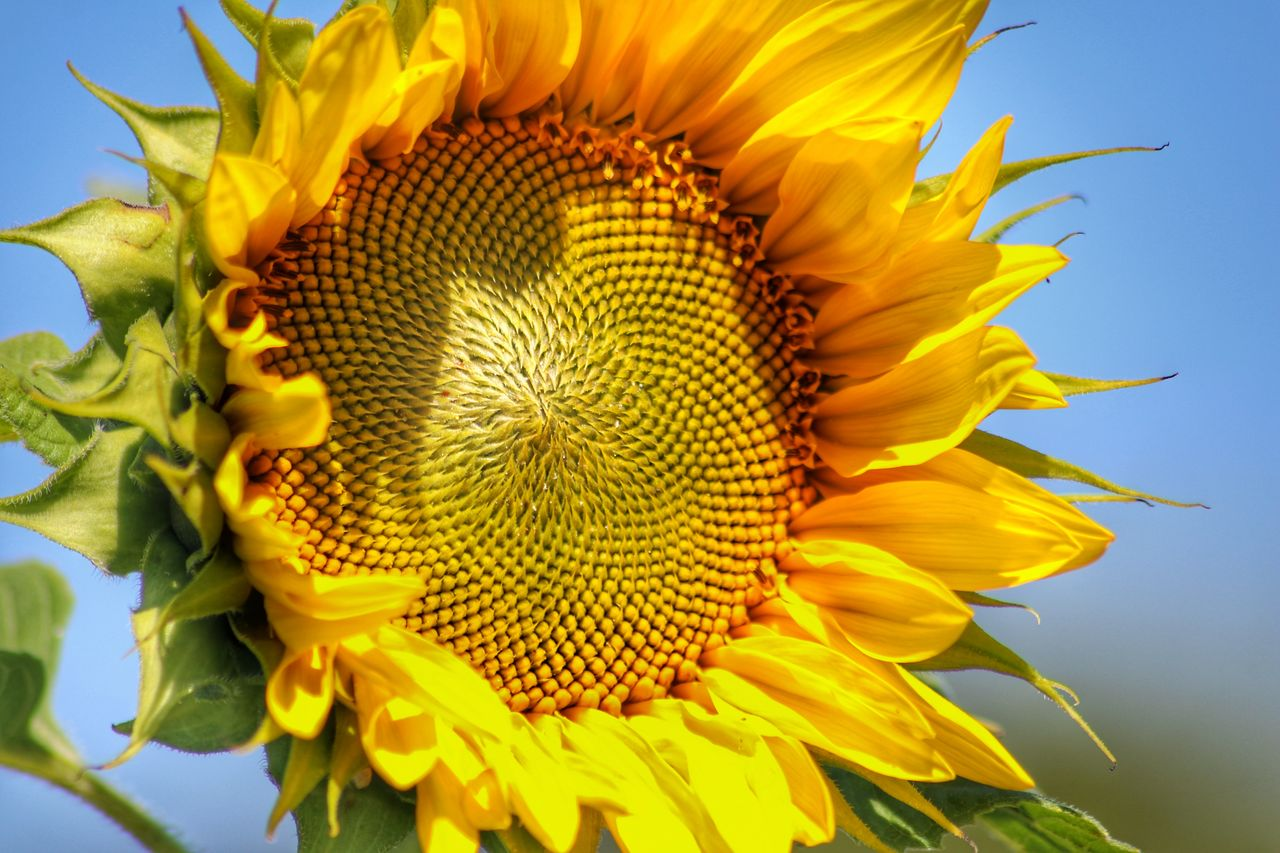 flower, flowering plant, flower head, plant, yellow, vulnerability, inflorescence, fragility, petal, growth, beauty in nature, freshness, sunflower, close-up, nature, no people, sky, day, pollen, outdoors, springtime, sepal