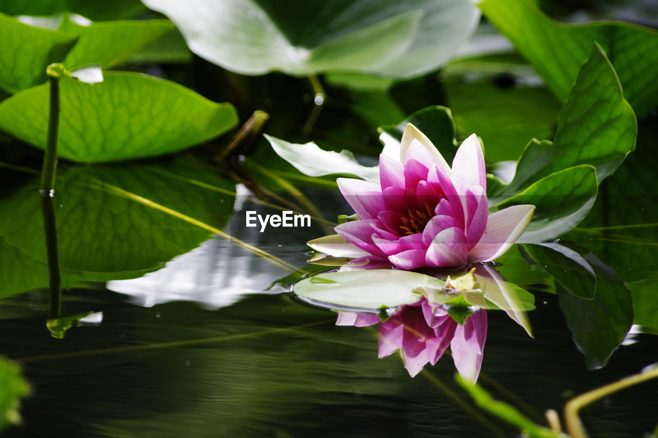 flower, flowering plant, plant, beauty in nature, vulnerability, freshness, fragility, leaf, petal, pink color, plant part, growth, close-up, nature, flower head, inflorescence, water, water lily, lake, no people, lotus water lily, floating on water, purple, leaves