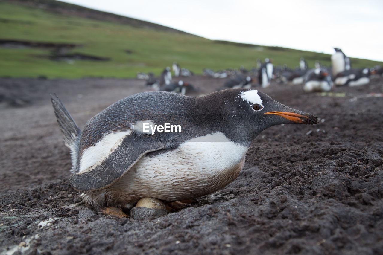 Penguin on field