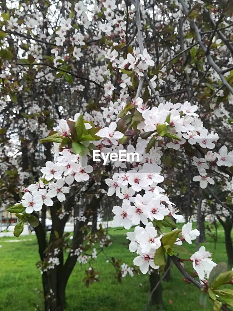 flowering plant, plant, flower, fragility, growth, vulnerability, freshness, beauty in nature, tree, blossom, day, white color, close-up, branch, springtime, nature, petal, focus on foreground, no people, botany, flower head, outdoors, cherry blossom, cherry tree, pollen, spring