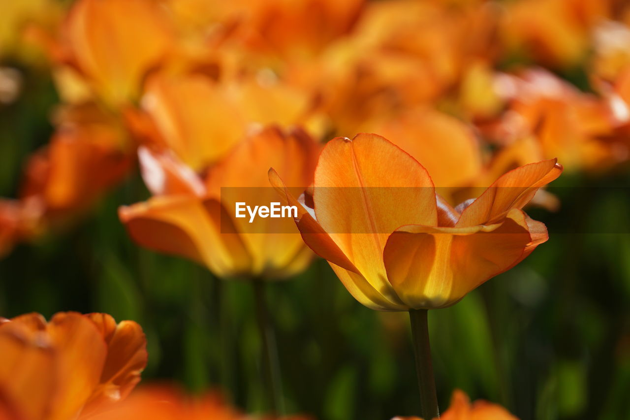flowering plant, flower, fragility, petal, vulnerability, plant, orange color, freshness, beauty in nature, flower head, close-up, inflorescence, focus on foreground, growth, no people, nature, day, selective focus, yellow, botany, pollen, orange