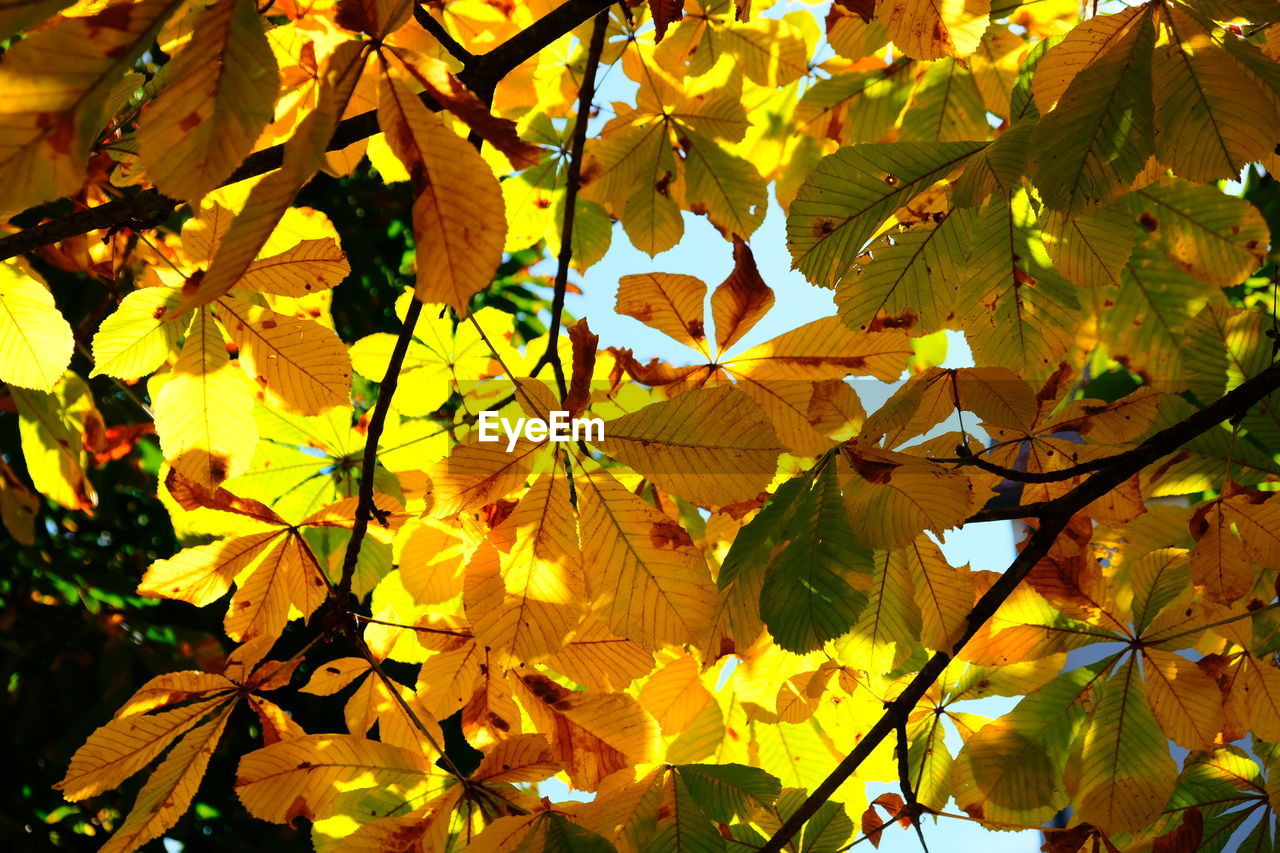 leaf, plant part, plant, autumn, yellow, beauty in nature, growth, change, day, full frame, no people, close-up, nature, focus on foreground, vulnerability, maple leaf, freshness, leaves, tree, fragility, outdoors, flower head, natural condition