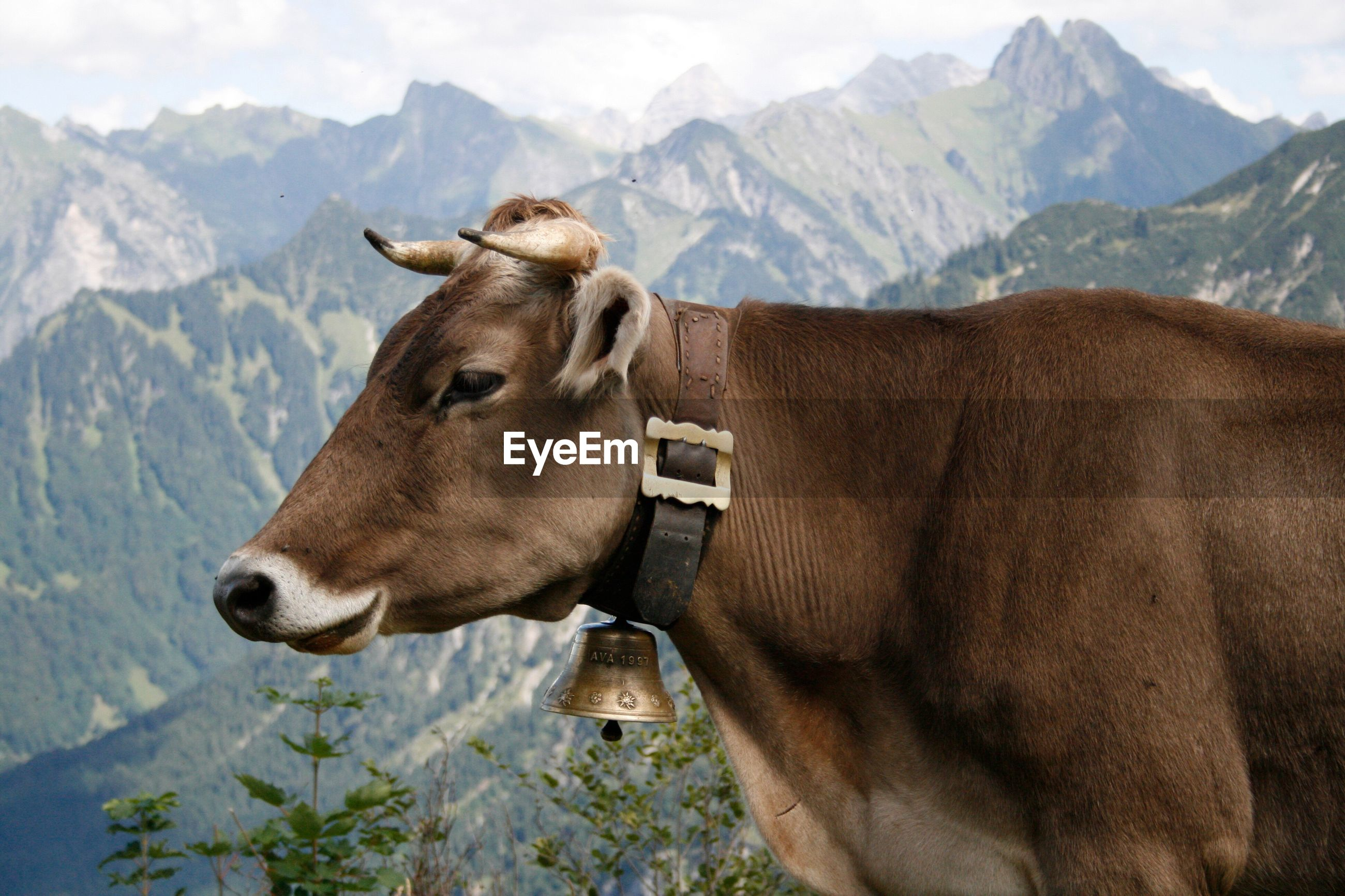 Close-up of cow in mountains