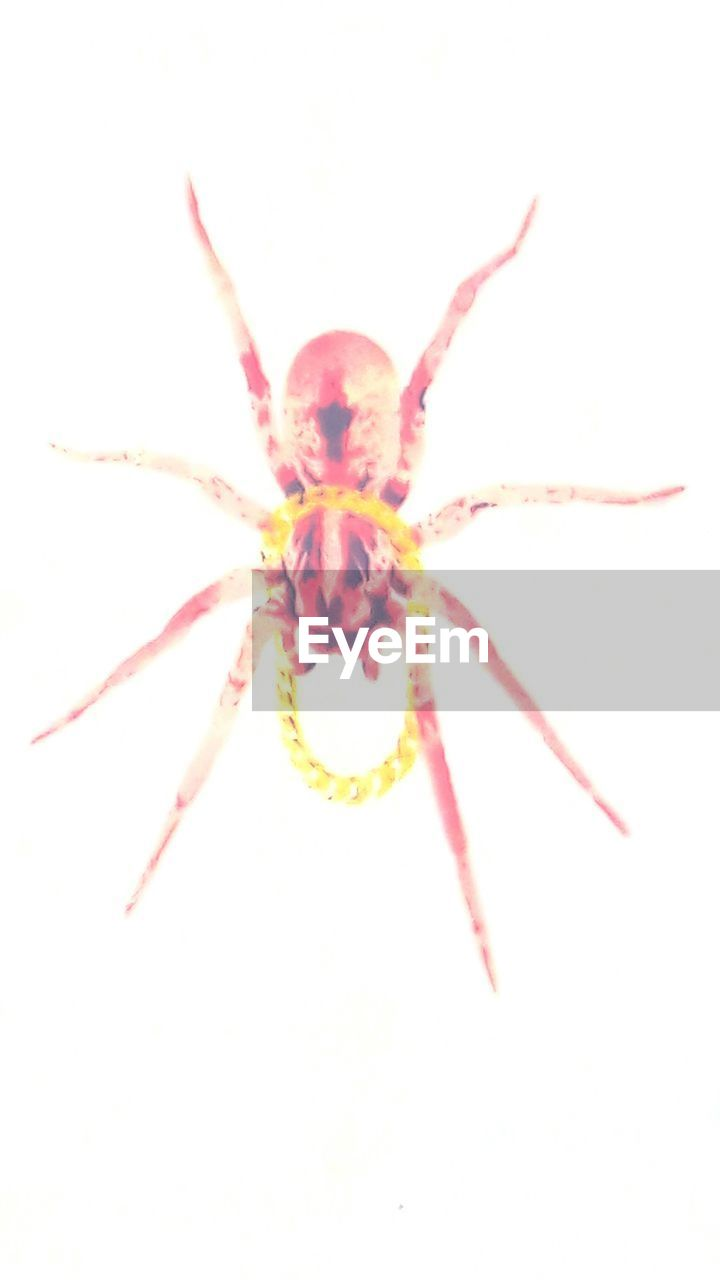 spider, one animal, animal themes, white background, no people, insect, studio shot, animal leg, close-up, day