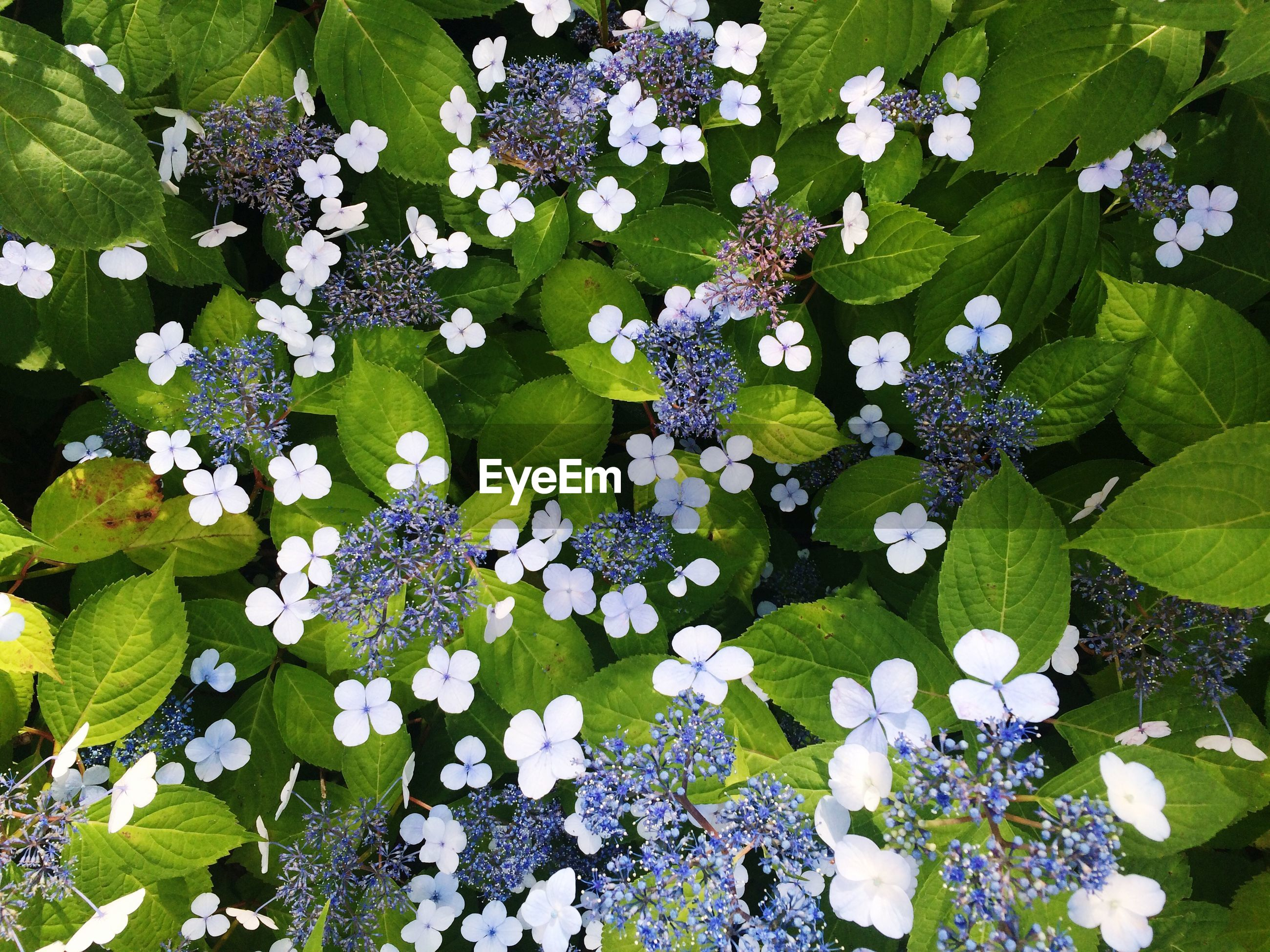 Directly above shot of hydrangeas blooming in park