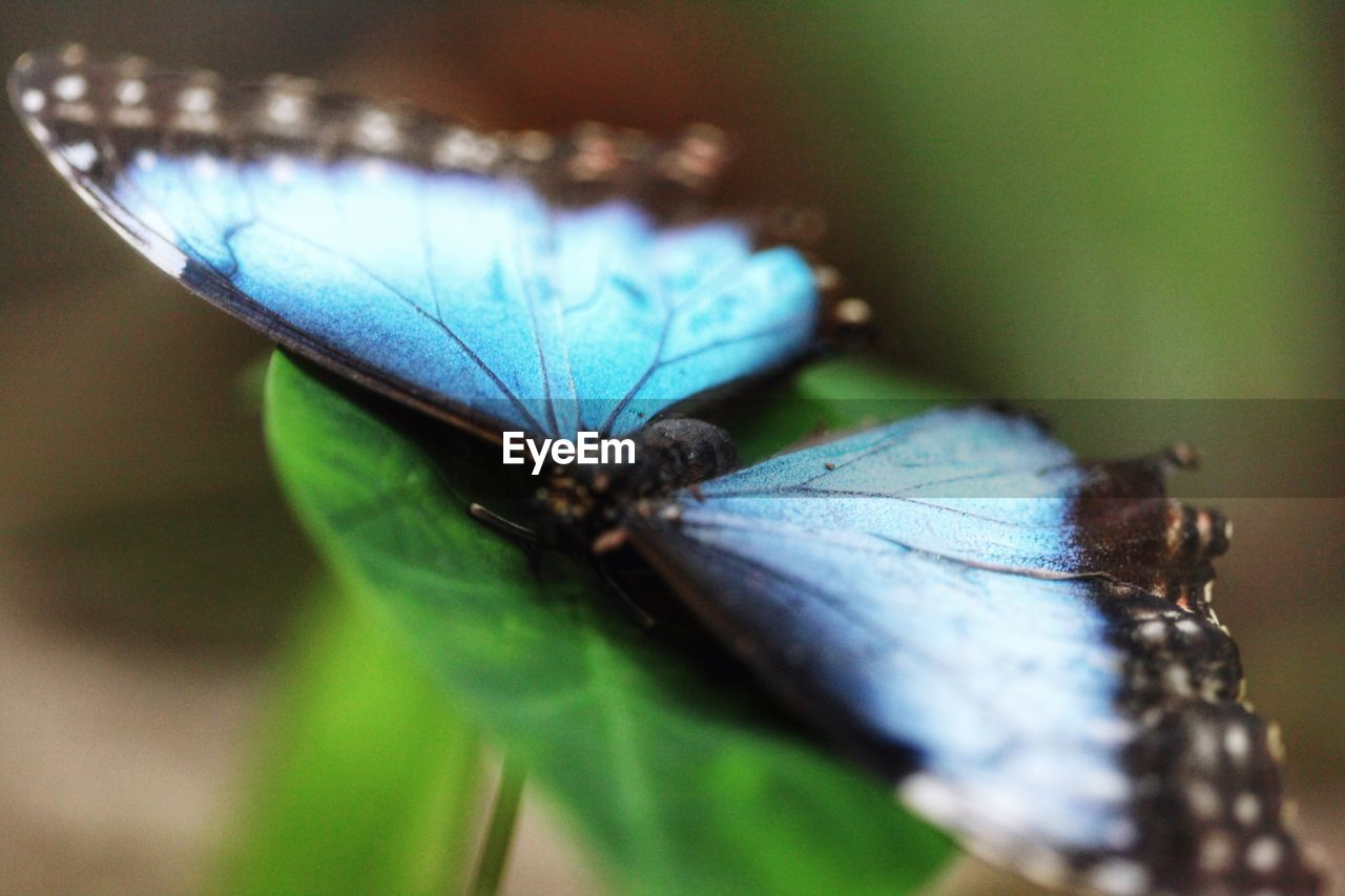 close-up, no people, insect, one animal, animal themes, animals in the wild, butterfly - insect, blue, day, nature, outdoors