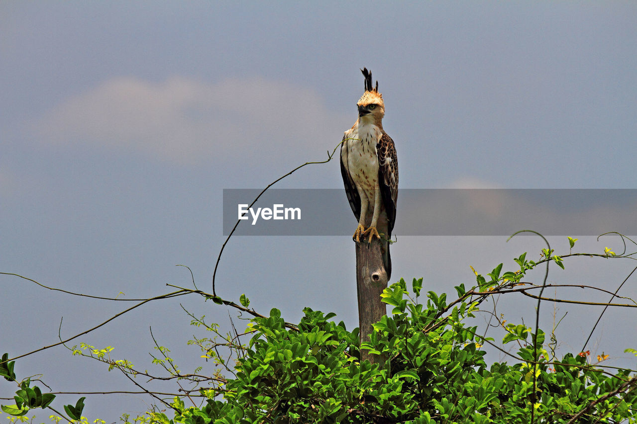 animals in the wild, animal, animal wildlife, animal themes, vertebrate, bird, one animal, plant, sky, perching, tree, nature, no people, day, branch, bird of prey, low angle view, outdoors, green color, focus on foreground, eagle, wooden post