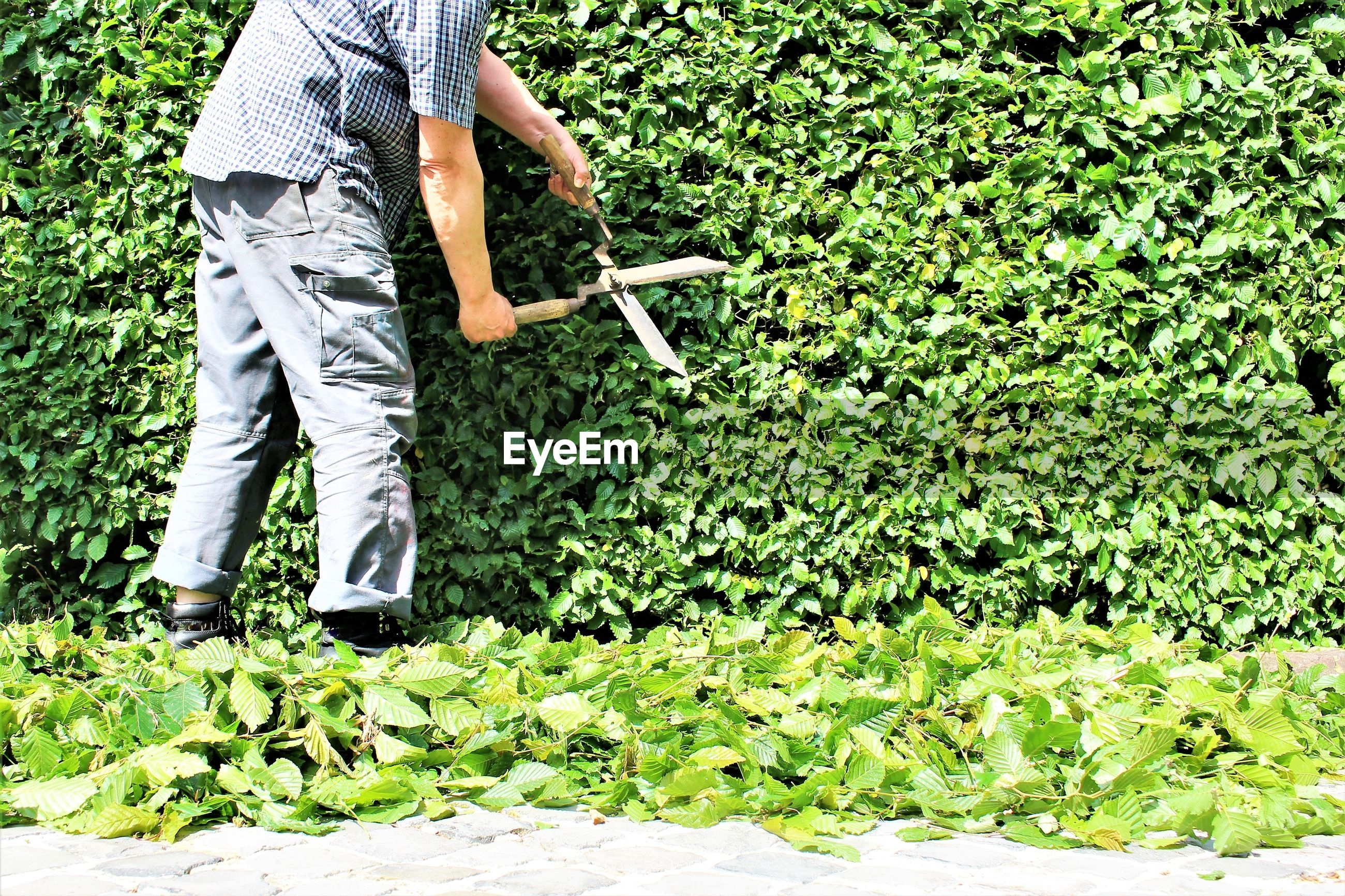 Low section of gardener trimming hedge in garden