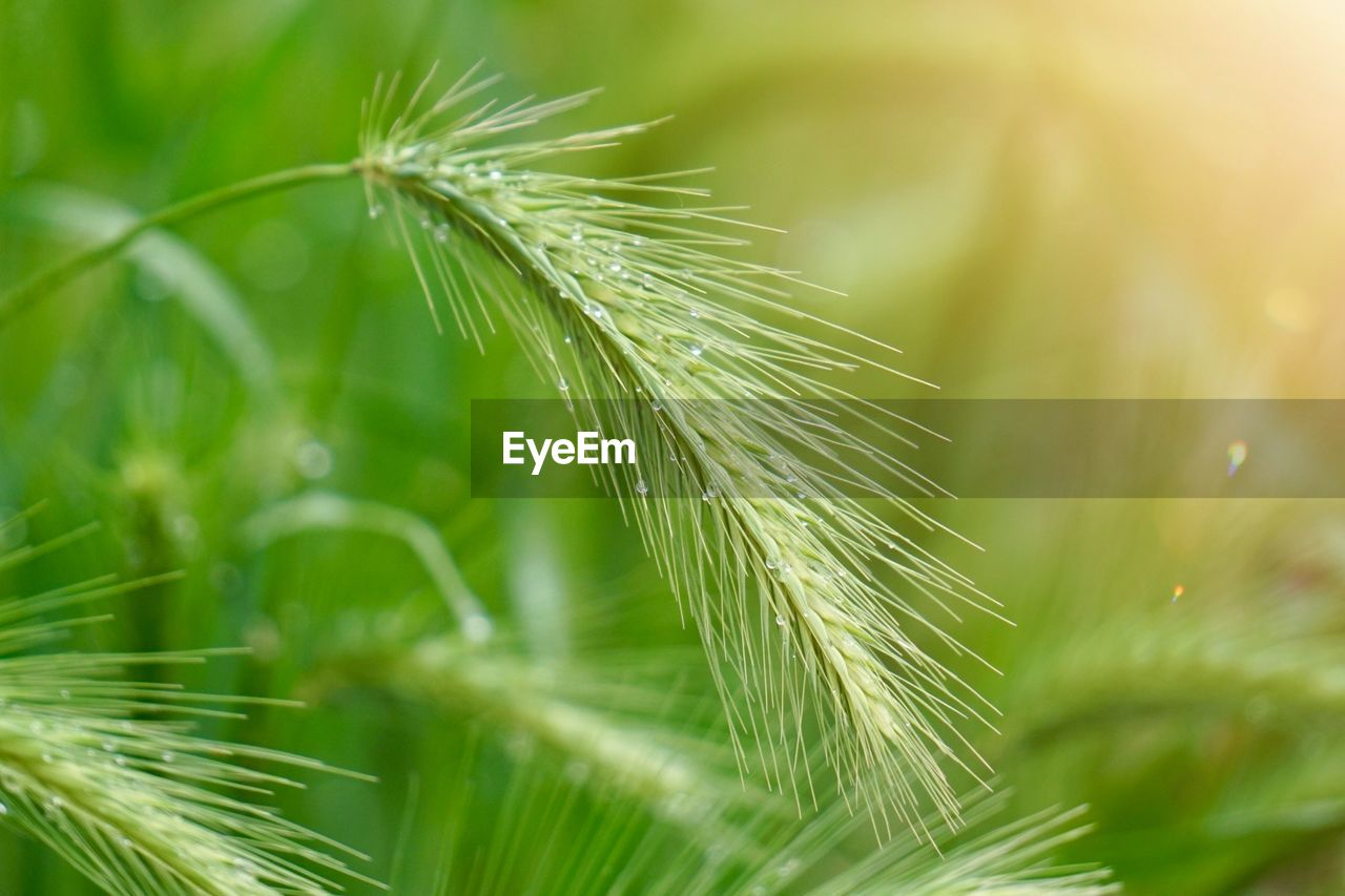 growth, green color, plant, close-up, beauty in nature, nature, selective focus, no people, day, focus on foreground, plant part, leaf, freshness, outdoors, tranquility, fragility, vulnerability, drop, green, wet, dew, dandelion seed, spiky, blade of grass