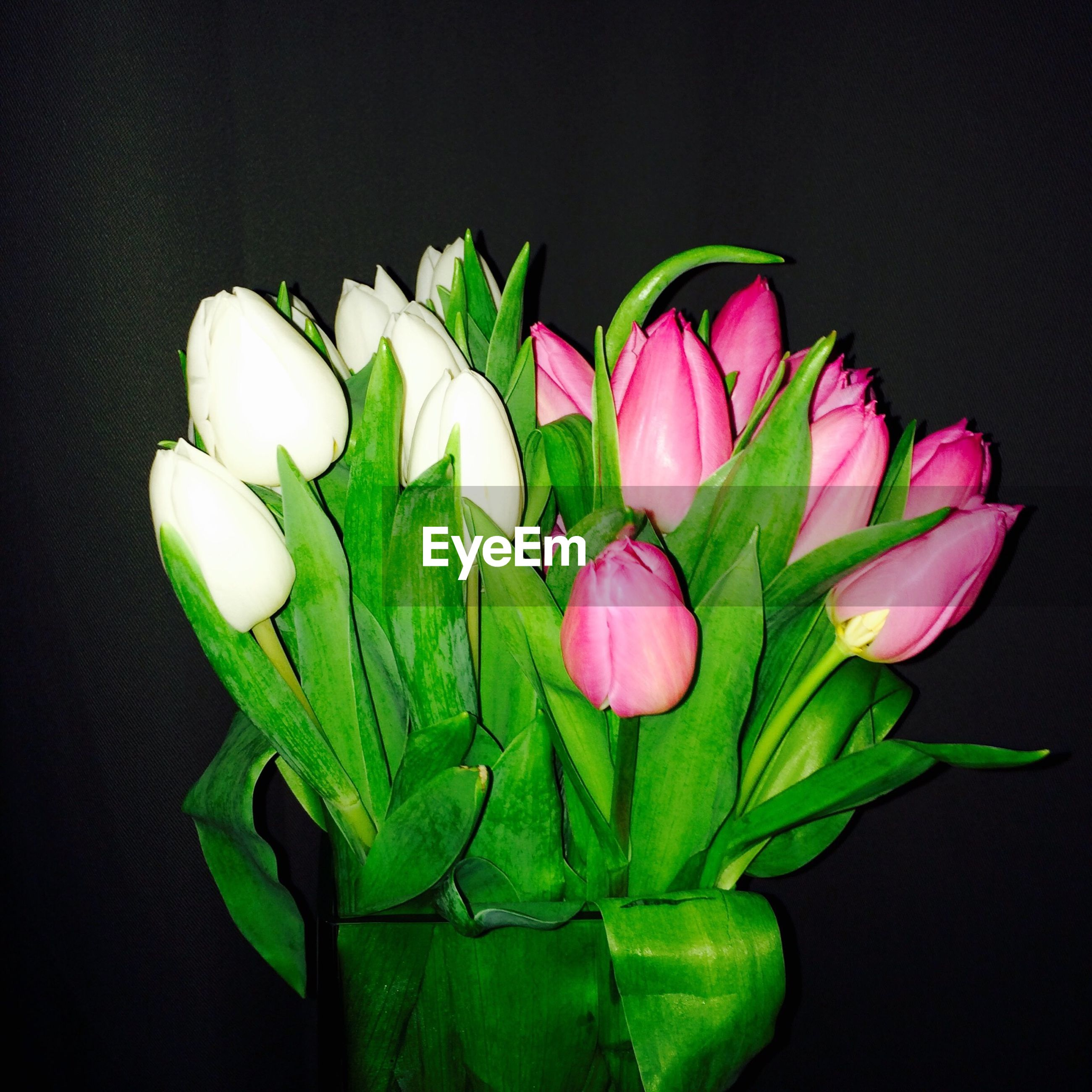 Close-up of fresh tulips bouquet against black background